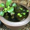 睡蓮鉢でメダカのビオトープにチャレンジ 【Vol.9 : 稚魚と稚エビ】