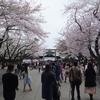 靖国神社に参拝する 桜が満開