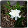 クチナシの花と花言葉