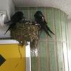 悩みも吹き飛ばす。ツバメの巣が二個に増えた