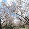 桜(ソメイヨシノ)の開花