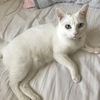 オッドアイ白猫 可愛いシーちゃんをご堪能ください❤️