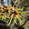 春の詩といえば、丸山薫「まんさくの花」ですよね