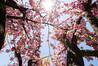 超広角レンズ14-24mm f/2.8で満開の八重桜を撮影