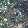磐田市で木の中に巣を作るスズメバチの巣を駆除してきました!