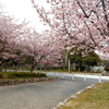 大仙公園の隣にある『平成の森公園』の桜はもう咲いているぞ!【大阪府堺市】
