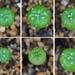 サボテン 兜丸の種まき -実生の記録-