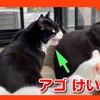 アゴの痙攣!?猫の不思議な鳴き声 クラッキング。Mysterious cat barks.