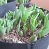 春が来た。3月にチューリップが急成長。