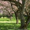 桜は散る時が来たから散るんです
