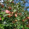 初めての「リンゴもぎ」