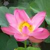 ①忍耐と執念が咲かせた蓮の花