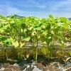 オクラの収穫が始まりました。