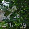 秋になったんだなーと実感できる「シルホサ」の開花