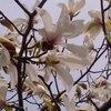 辛夷の花(コブシ)