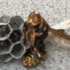磐田市で軒下にできたアシナガバチの巣を駆除してきました