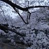 桜並木の散歩