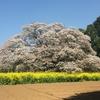 見事な大桜