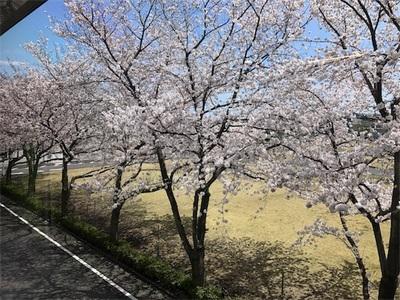 春爛漫〜やっぱり桜はいいですね〜