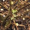 プリペット 新芽