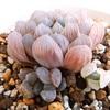 紫オブツーサの斑入り子株