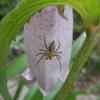 ホタルブクロに蜘蛛 蜂