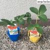 #6 イチゴ 苗を購入して再チャレンジ 『宝交早生』と『アイベリー』