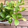 観葉植物いろいろ購入