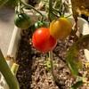 【家庭菜園】元気をお裾分け | 冬に獲れたミニトマトをお弁当に【2019年11月】