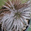 Dyckia collection of Dyu