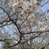 お花見とグラウディング