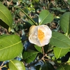今朝、庭をぶらつくと白玉とほたるぶくろが咲いていた。いずれも白花。ツバキにしては早くないか?とも思ったが