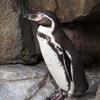 独断と偏見のペンギン図鑑4:フンボルトペンギン