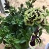 花衣 黒真珠 日本の華を楽しむ。