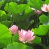 弘前公園のハスの花が美しい♪ザリガニ駆除のお陰で復活