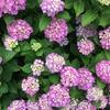 五角オクラの発芽とアジサイの季節
