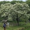 ヒトツバタゴ(樹齢250年、雪のような真っ白な花、国の天然記念物です。)を見てきました。