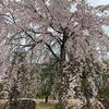お花見@京都・二条城【京都紀行2】