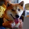 脱走犬 ペコむす(柴犬)