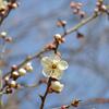 やっと白梅が咲き始めました🎵