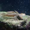 ボウズハゼ Sicyopterus japonicus