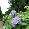 済州島(チェジュ島)フォトスポット #アジサイが咲く「ボロムワッ」