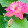 ☘️2019 【ハス見本園】iPhoneXSで撮影。花びらに 雫の花咲く キラキラと。