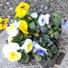 2018年2月の「みやがせ花の日」はイロイロな色のビオラとパンジー