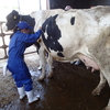 ヨーグルト人気と暑さで牛乳が不足:酷暑は牛にも酪農業界にも厳しい問題