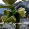 ハスカップの花が咲き始めました