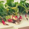【日記】妹の家庭菜園で実った二十日大根を食べる