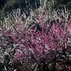 今週の一枚・梅が見頃の新宿御苑