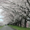 ◆'19/04/21     馬渡の桜