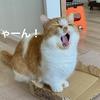 【猫学】飼い主のくしゃみに愛猫が文句を言ってきた?その理由について。